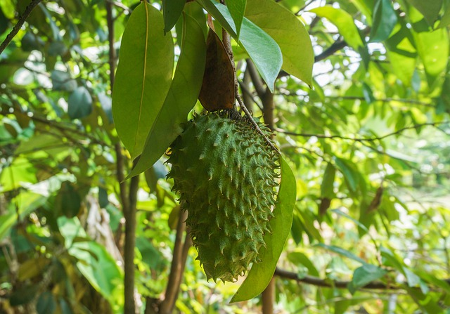 soursop guanabana what it tastes like how to eat it